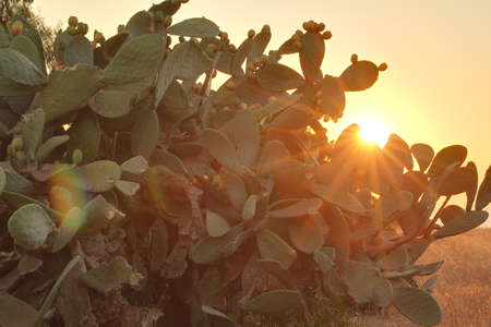Sun shining through branches of Indian fig cactus photo
