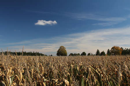Field of corn in early autumn  photo