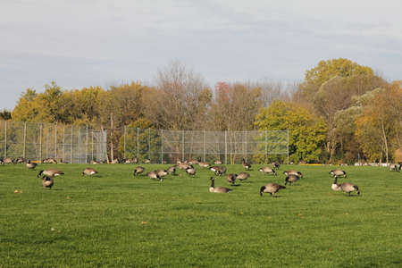 Large group of Canadian geese feeding on the grass