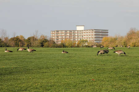 Flock of Canadian geese feeding on the grass