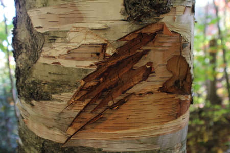 Bear paw scratch on the trunk of a birch tree Standard-Bild