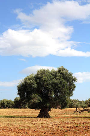 Lonesome olive tree in a dry field of red clay earth photo