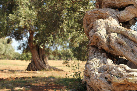 Detail of a twisted olive tree trunk with out of focus olive tree behind photo