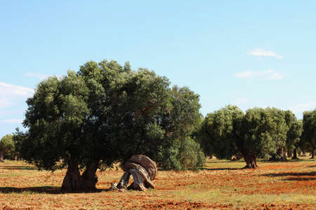 Field of olive trees and red clay earth photo
