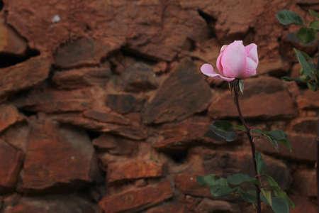 adobe wall: Rosa rosa con petali sciolti sul punto di cadere, di fronte al muro di mattoni rossi