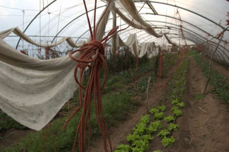Detail of ropes used for tomatoes in a greenhouse, with other plants cultivated