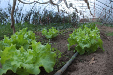 Row of lettuce cultivated in a greenhouse in an organic farm Standard-Bild