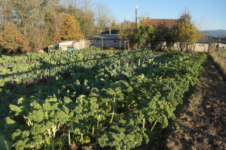 Collard plants growing on a field in an organic farm. This kind of cabbage is very typical of Galicia, an autonomous community in Spain