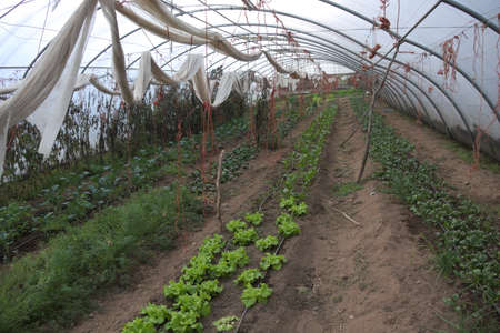 Row of carrots and other vegetables cultivated in a greenhouse in an organic farm