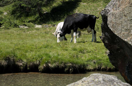 Cows grazing on the shore of a river on an alpine pasture