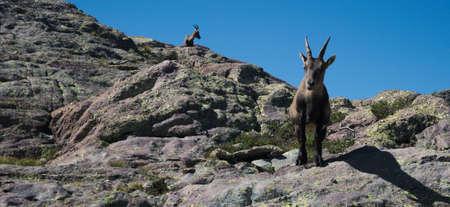Alpine ibex looking at the camera on top of a peak on the Bergamo Alps, northern Italy Standard-Bild