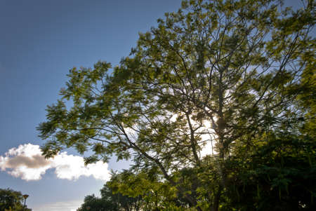 high section: High section of tree against blue sky clouds and sun