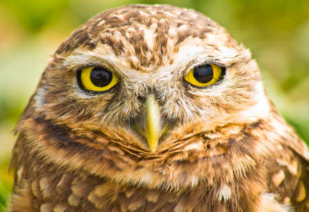 burrowing: Portrait of burrowing owl looking directly to the camera against blurred vegetation Stock Photo