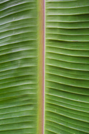 texture of banana leaf, vertical position Stock Photo