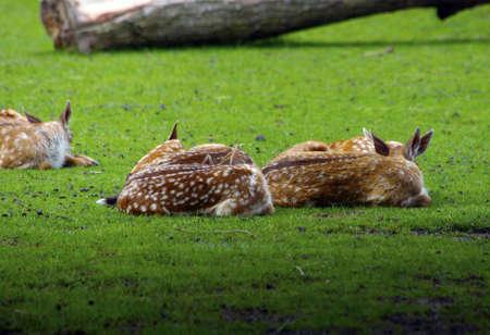 Deers lying in grass Stock Photo - 7487477