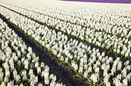 hyacinths: Huge field of hyacinths