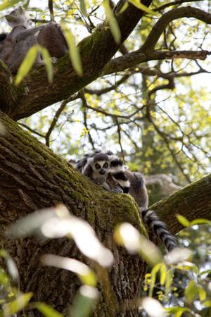 Ring-tailed lemurs in a tree photo