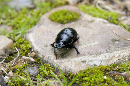 arthropod: Black beetle on a stone