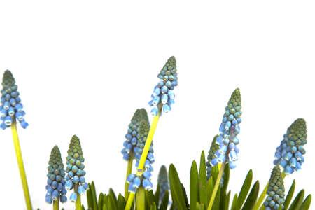 Fresh blue grapes isolated on white background photo