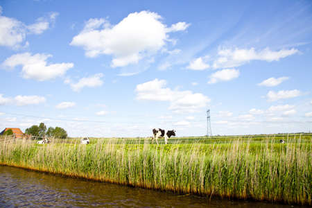 Dutch landscape with grass and cow photo