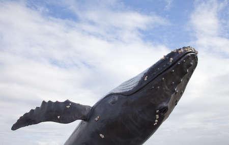 ballena azul: Ballena jorobada con el cielo azul Foto de archivo
