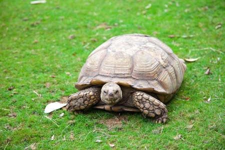 sulcata: Centrochelys sulcata turtle in green grass