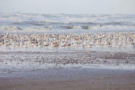 Grote groep van meeuwen op het Nederlandse strand Wijk aan Zee Stockfoto - 68448678