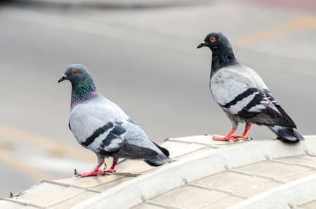 large bird: Pigeon. Dove. The large bird genus Columba comprises a group of medium to large stout-bodied pigeons, often referred to as the typical pigeons.