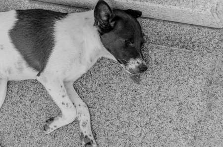 lay down: Thai dog lay down in temple