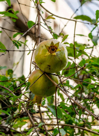 punica granatum: Pomegranate or Punica apple (Punica granatum L.) in garden Stock Photo