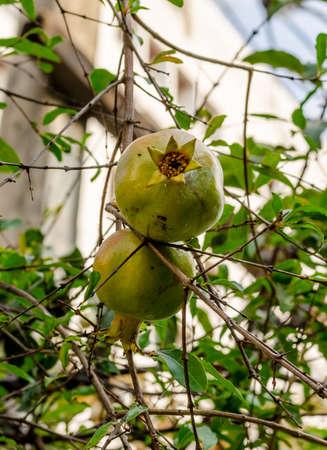 punica granatum: Pomegranate or Punica apple (Punica granatum L.) in garden Stock Photo