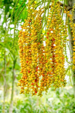 areca: Areca catechu: plam plant from asia