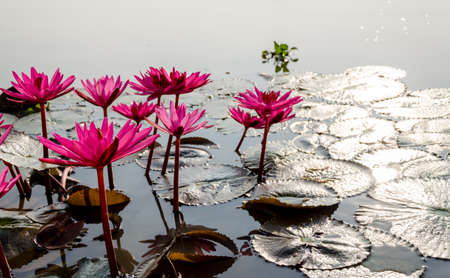 aquatic herb: Pink lotus floating on the lake in Thailand