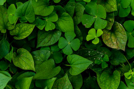photosynthetic: Dark and green leaves background, fresh condition