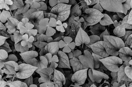 photosynthetic: Dark and green leaves background, fresh condition, black and white Stock Photo