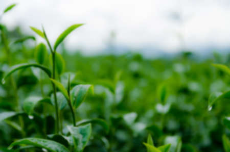 photosynthetic: Blur Picture Dark and green tea leaves background, fresh condition Stock Photo