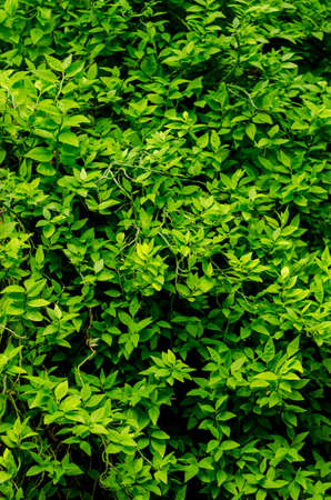 photosynthetic: Dark and green leaves blur picture background