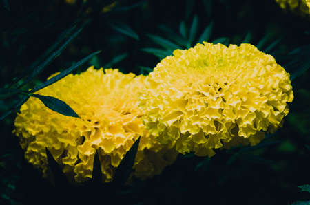 Marigolds flowers, close up picture in vintage tone filter Stock Photo
