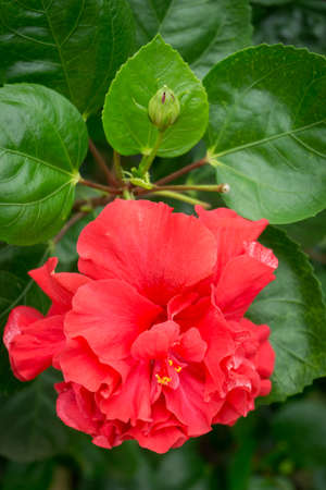 Red Hibiscus (Hibiscus syriacus), Its famous flower to paint in textile