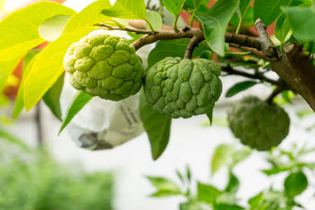 Sugar apple flower, The flower of sweet fruits of Thailand Stock Photo