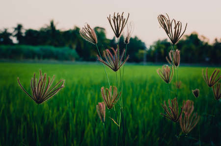 comfortableness: Cinematic tone of grass flower over paddy field background