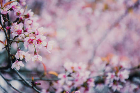 Pink soft sweet and vintage of  Sakura flowers background Stok Fotoğraf