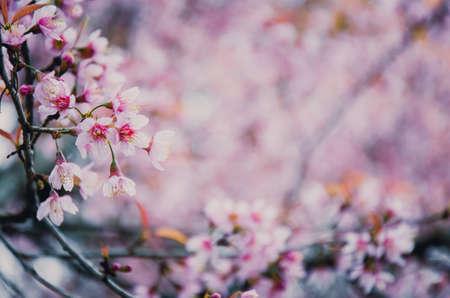 Pink soft sweet and vintage of  Sakura flowers background 版權商用圖片