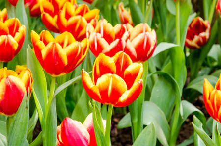 Red tulips flowers in the fresh garden background Stock Photo