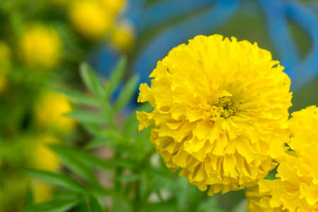 Marigold flowers, the yellow flower for buddhism and Hindu