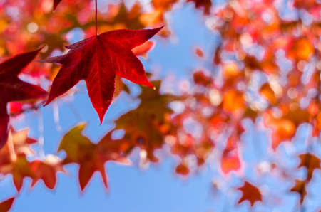 Red and yellow maple leaves background, autumn season specific Stock Photo