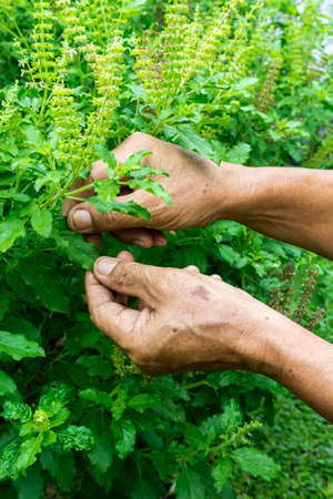 Basil leaves in the herb garden, Thai herb in  the hand of old man