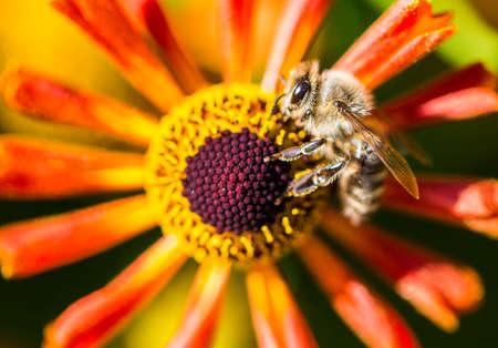 макросъемка пчелы собирает пыльцу из цветка
