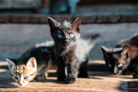 3 little kittens with blue eyes and legs