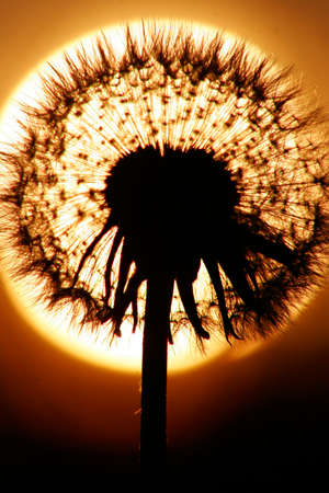 close up Silhouette of dandelion, sunset is sun on background. Warm summer colors.